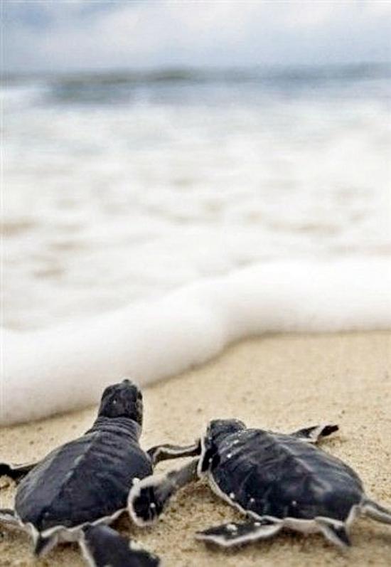 köldpaddor